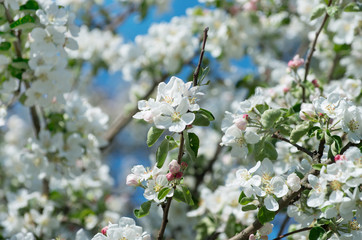 Wall Mural - Spring Apple Blossom over blue sky.