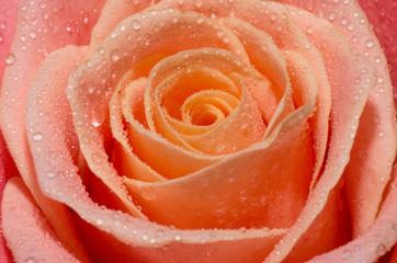 Wall Mural - Macro shot of blooming pink roses with water drops on their petals