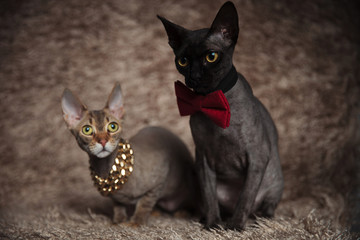 Fototapeta cats with bowtie,chain sitting bent and looking away obraz