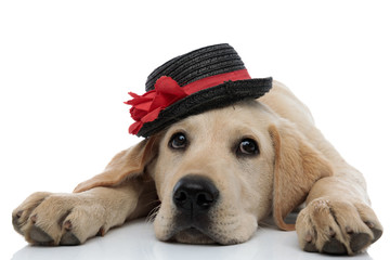 tired labrador retriever puppy wearing a black and red hat