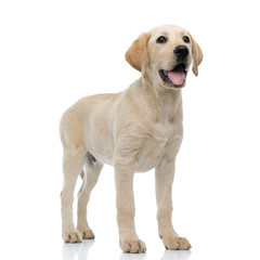 full body picture of a happy  labrador retriever puppy standing