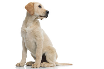 full body picture of a labrador retriever puppy looking away