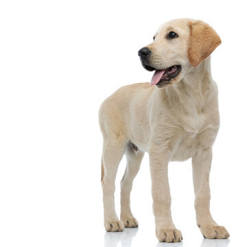 happy young labrador retriever is panting and looking to side