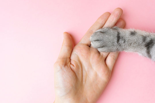 Gray striped cat's paw and human hand on a pink background. The concept of friendship of a man with a pet, caring for animals. Minimalism, feed on top, place for text.
