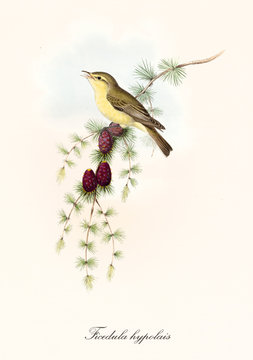 One single cute yellow bird singing on a pine branch. Old isolated illustration of Melodius Warbler (Hippolais polyglotta). Colorful graphic composition by John Gould publ. In London 1862 - 1873