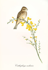 Single isolated little bird on a yellow flowered thin bended branch. Detailed hand colored old illustration of Corn Bunting (Emberiza calandra). By John Gould publ. In London 1862 - 1873