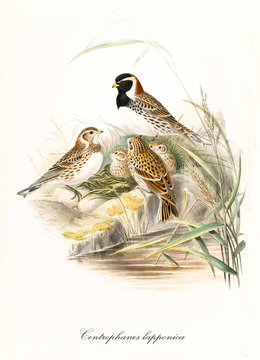 Little birds family in the nest hided in the high grass near a water surface. Hand colored vintage illustration of Lapland Bunting (Calcarius lapponicus). By John Gould publ. In London 1862 - 1873