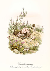 Cuckoo and his featherless children in its nest on a rocky ground. Detailed hand colored old illustration of Common Cuckoo (Cuculus canorus),  young parasitic. By John Gould, London 1862 - 1873