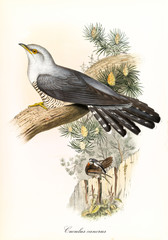 Single cuckoo on a trunk and vegetation on background. Detailed hand colored vintage illustration of Common Cuckoo (Cuculus canorus). By John Gould publ. In London 1862 - 1873