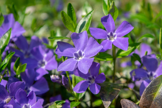 Vinca minor lesser periwinkle ornamental flowers in bloom, common periwinkle flowering plant, creeping flowers
