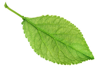 spring leaf large plum isolated on white background