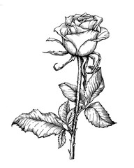 Branch beautiful single rose with leaves. Black and white outline illustration hand drawn work isolated on white background.