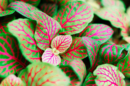 Fittonia albivenis mosaic plant silver net leaf houseplant as a macro with bright colors