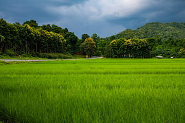 Rice field with rain cloud in Phayao province Fototapete