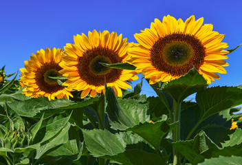 Sunflowers blooming on farm, a common scene in late Summer and early Autumn