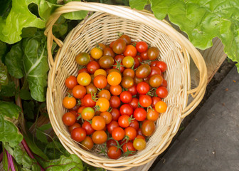 Small tomatoes called cherry tomato in the basket, fresh organic vegetables freshly harvested from local gardens