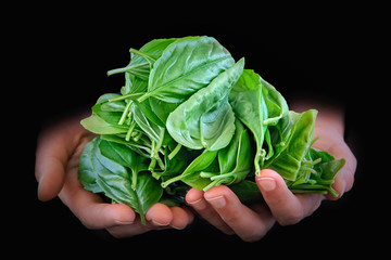 Fresh basil leaves in woman's hands