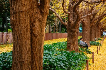 Tokyo yellow ginkgo tree street Jingu gaien avanue in autumn and people sit on bench