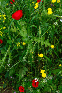 Poppy Flowers among other Wild Flowers and Green Grass. Cover Crop during Summer Season