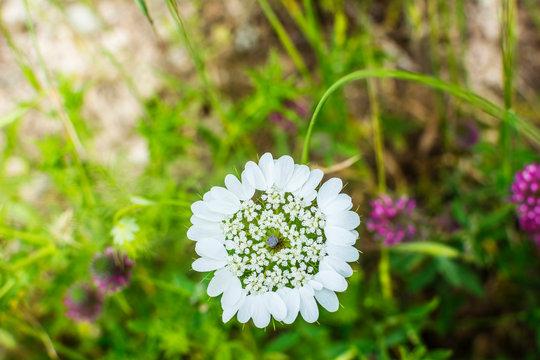 Wild White Flower and Green Grass. European Cover Crop during Summer Season
