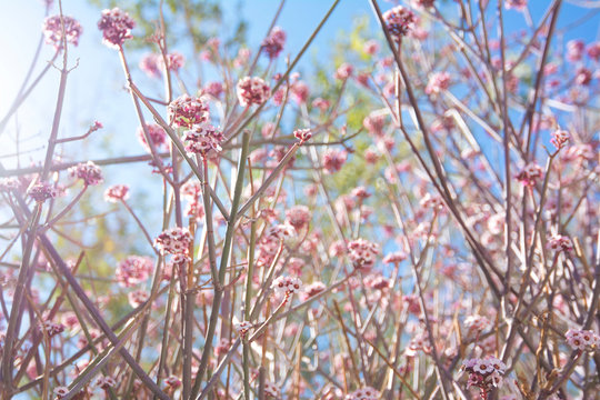 Spring Pink Wild Flowers Blooming in Morning Sunlight. Girly Backdrop with Natural Light