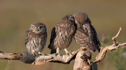 Fototapete - Three young Little owl, Athene noctua, stands on a stick on a beautiful background