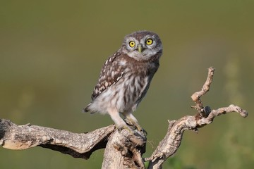 Fototapete - Young little owl, Athene noctua, stands on a dry branch on a beautiful summer background
