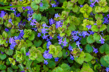 The vegetation texture with thickets of the ground-ivy (binomial name Glechoma hederacea)