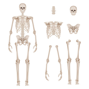 Human skeleton. Body parts skull bones hands foot spine anatomy detailed realistic vector illustration. Anatomy skeleton and skull, human medical spine and bone, hand and pelvis