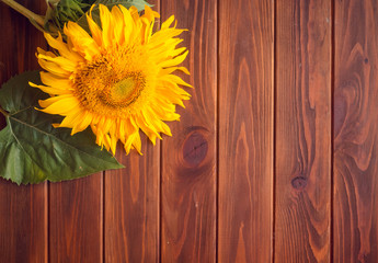 Yellow sunflower lies on a brown wooden background. Autumn picture with harvest