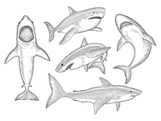 Shark hand drawn. Water creature flowing big monster fish with mouth vector sketch collection. Shark in ocean, animal sea illustration, aquatic predator