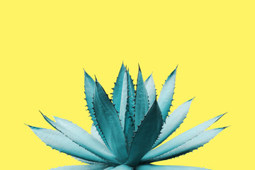 Canvas Prints Cactus Agave Plant in Blue Tone Color on Yellow Background Colorful Design Image
