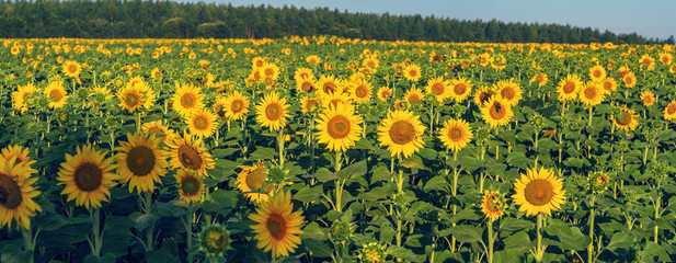 Field of sunflower flowers illuminated by the morning sun