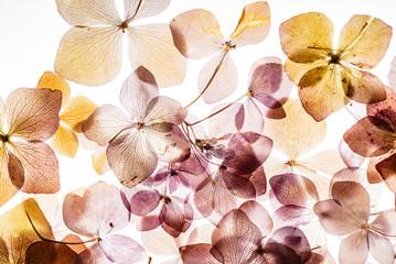 Fond de hotte en verre imprimé Hortensia pink hydrangea flowers isolated on the white background