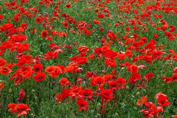In de dag Rood traf. Field of Poppies in Sussex
