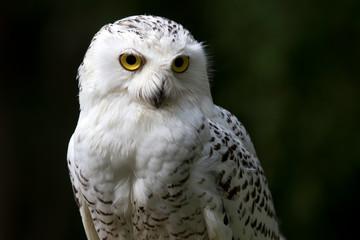 A snowy white owl