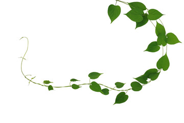 Wall Mural - Twisted jungle vines liana plant with heart shaped green leaves nature frame layout isolated on white background, clipping path included.