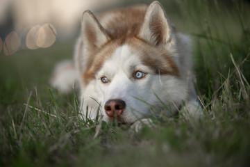 Blue-eyed husky portrait