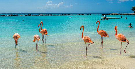 Foto auf Leinwand Flamingo Pink flamingo on the beach from Aruba
