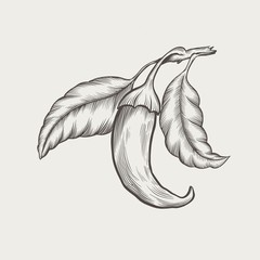 Chili peppers on the branch vintage engraved vector illustration.