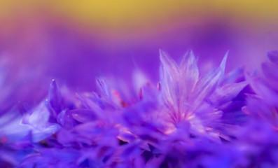 Blume trocknen für Naturkosmetik Kornblume Ringelblume