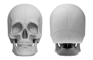 3d rendering. Set of front and back side of human head skull bone isolated on white background.