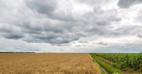 Wall Mural - Cloudy sky and rural road passing between field yellow wheat and green field sunflower, panoramic view. Beautiful scenic dynamic landscape agricultural land, 4K time lapse. Beauty nature, agriculture.