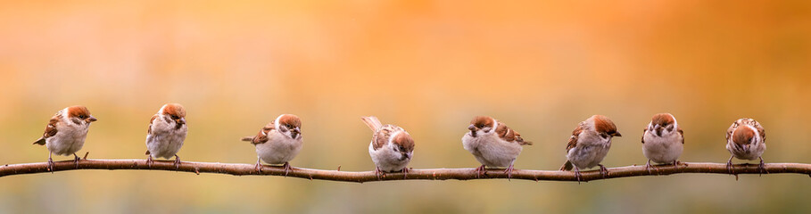 Fototapete - group of small birds sparrows sitting on a branch in the warm sun, summer garden