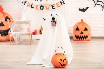 Swiss shepherd dog in halloween costume and pumpkin sitting at home Fototapete
