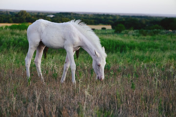 White colt foal horse grazing in Texas landscape on cloudy morning.