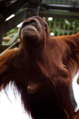 Stolzer Orangutan