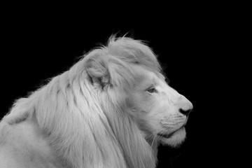 Albino lion on black background