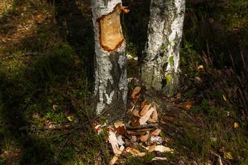 fresh beaver tracks on birch tree in a swamp
