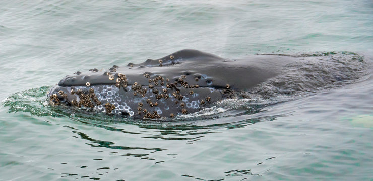 A Humpback Whale pokes its head out of the water showing barnacles growing on the skin of its head, in the Monterey Bay, along the Pacific Coast of central California, during a whale watching trip.